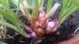 cipolline del Bangladesh