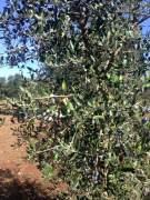 Olive quasi mature